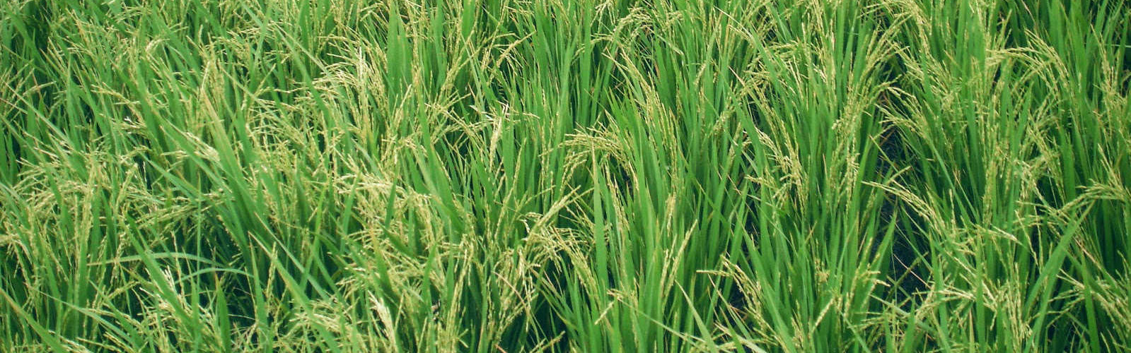 SVR_Paddy_Growth_Banner